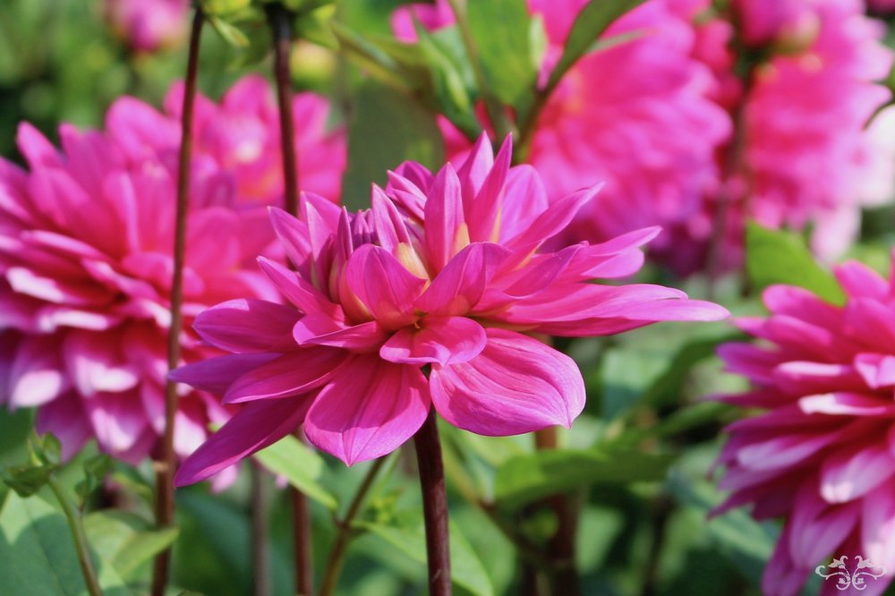 """Louise"" Decorative Dahlia"
