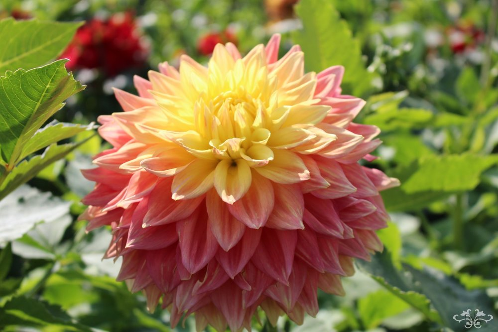 """Mebel Ann"" Decorative Dahlia"