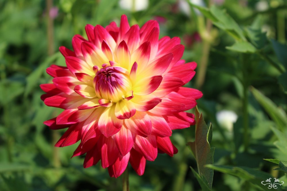 """Kenora Wow"" Decorative Dahlia"