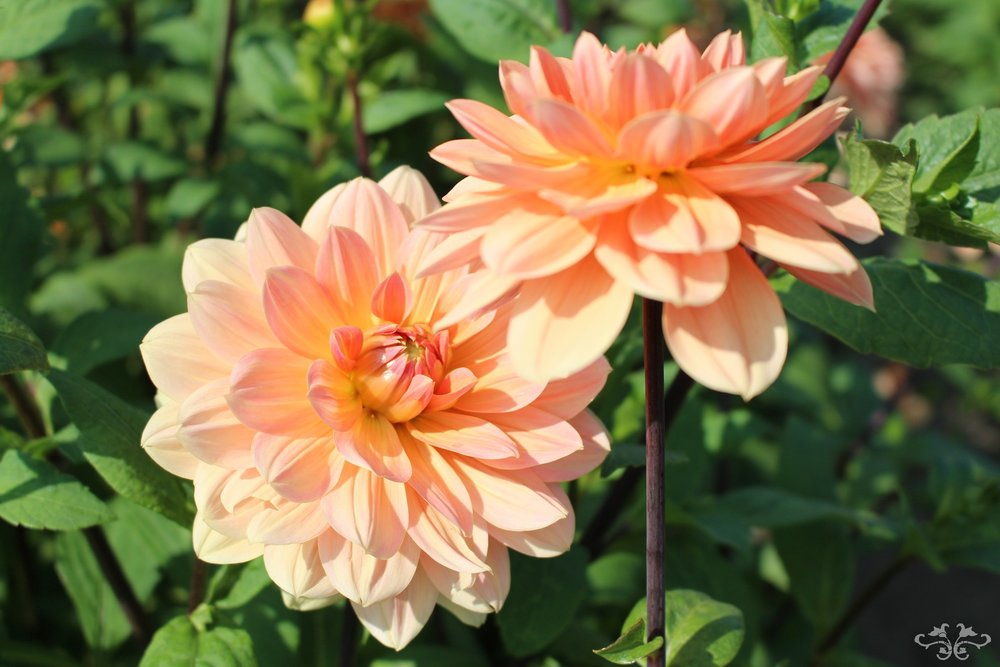 """Apricot Desire"" Waterlily Dahlia"