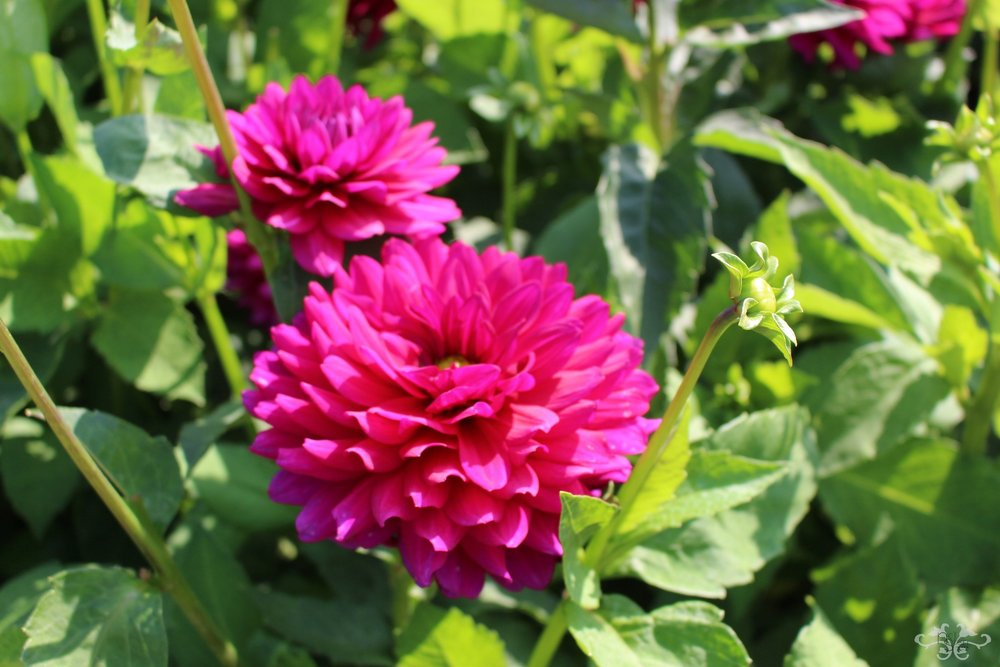 """Berner Oberland"" Decorative Dahlia"
