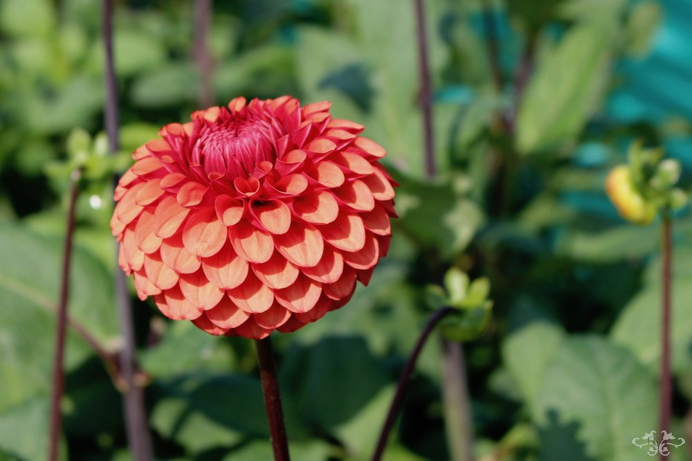"""Brown Sugar"" Ball Dahlia"