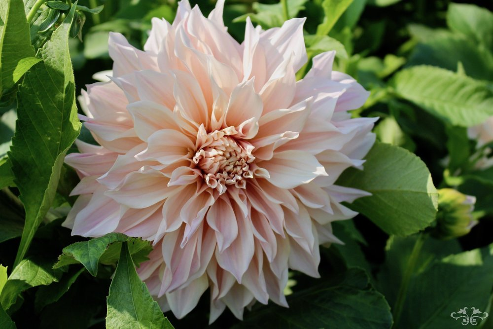 """Cafe Au Lait"" Medium Decorative Dahlia"