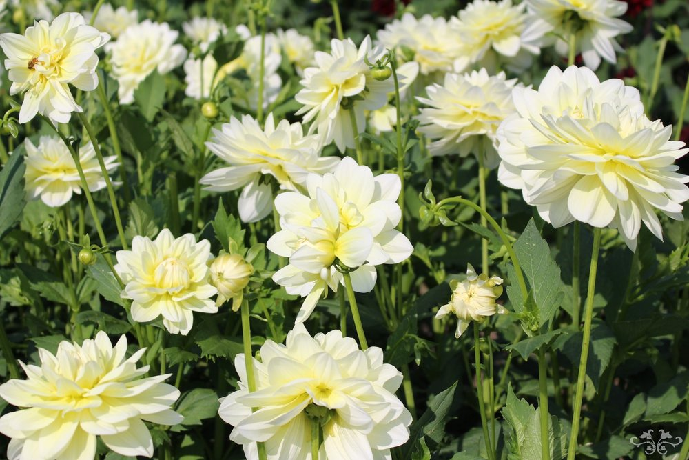 Neill Strain Dahlia Cream Beauty