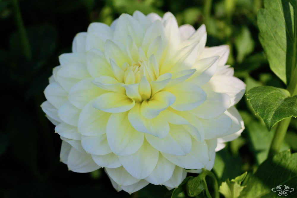 """Cream Beauty"" Waterlily Dahlia"