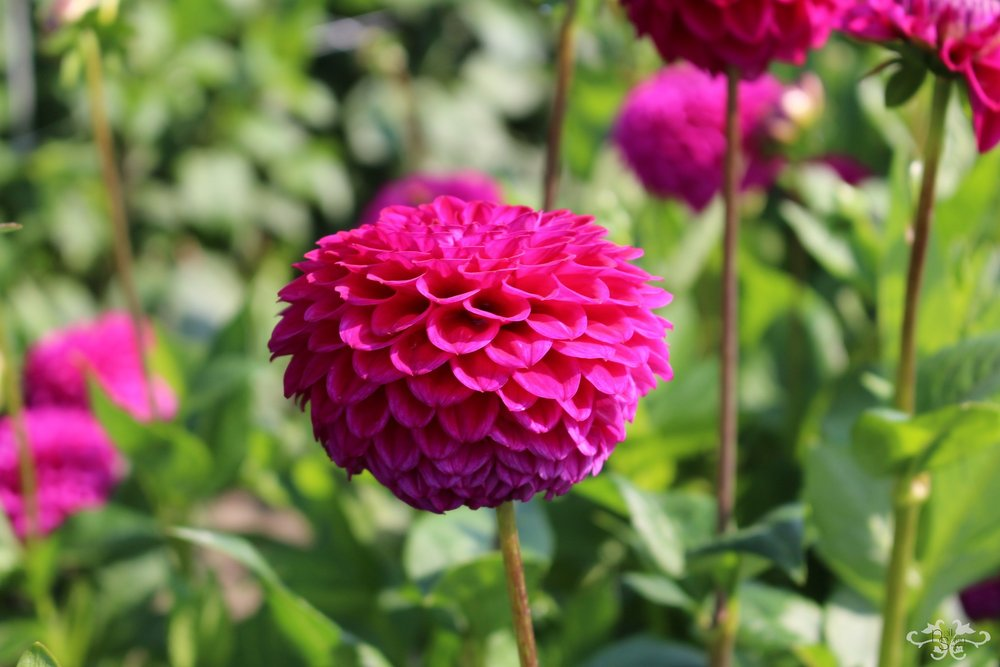 """Cryfield Harmony"" Ball Dahlia"