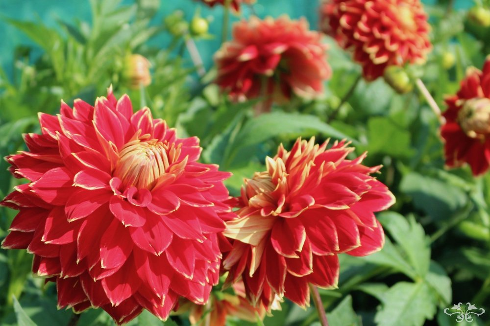 """Dutch Carnaval"" Medium Decorative Dahlia"