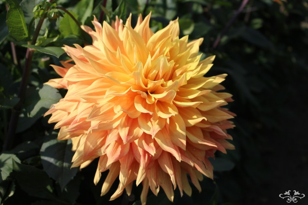 """Elly's Pride"" Decorative Dahlia"