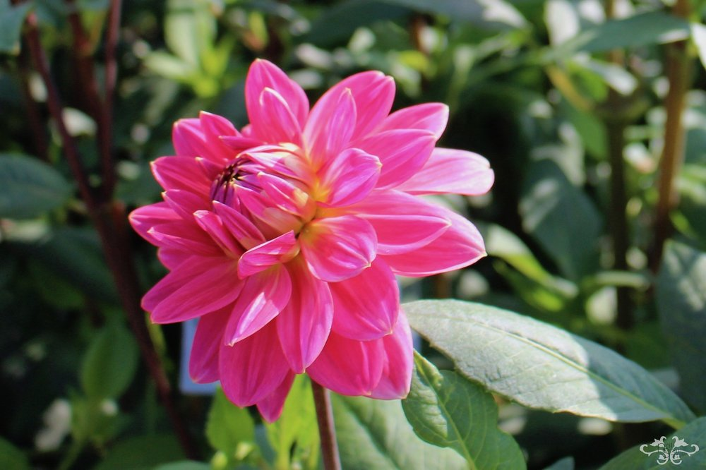 """Happy Hanny"" Waterlily Dahlia"