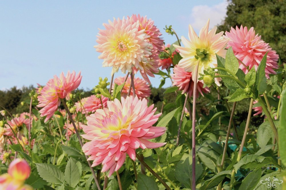 Geerlings Dahlias for Neill Strain