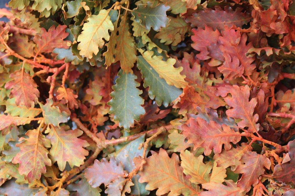 Quercus (Oak) in Autumn Colours