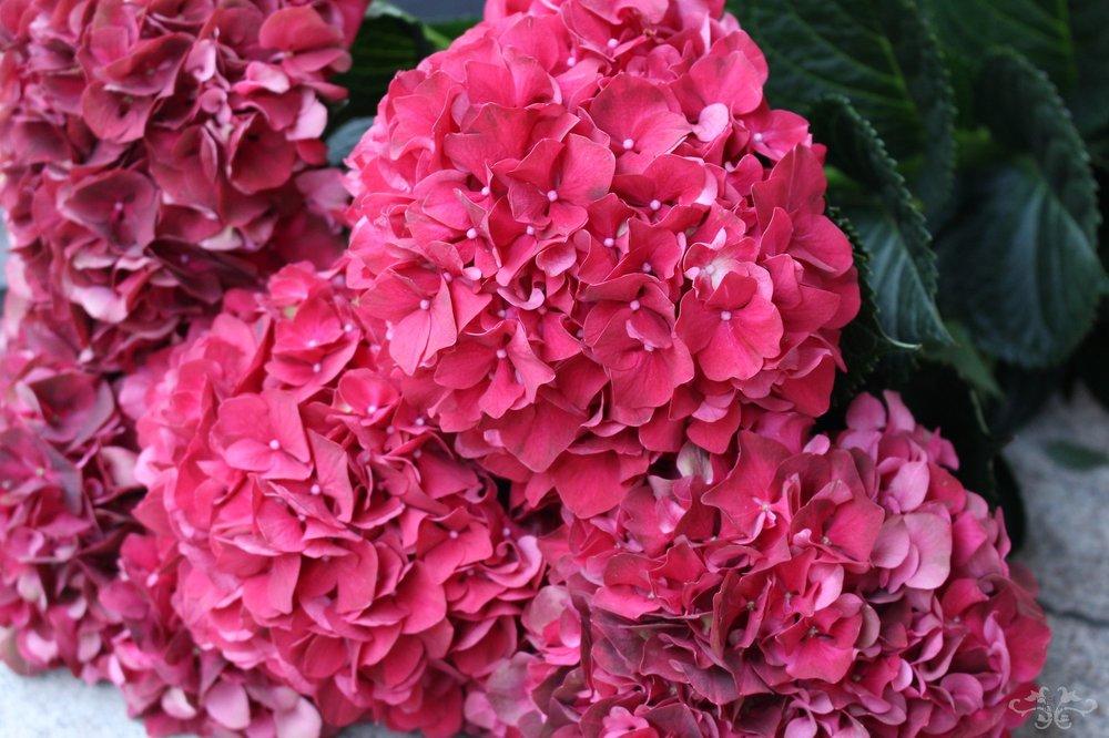 "Hydrangea ""Magical Ruby Red"""
