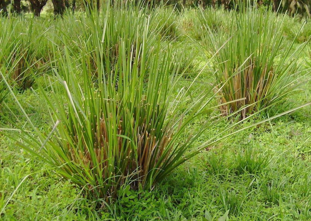 Vetiver Grass.jpg