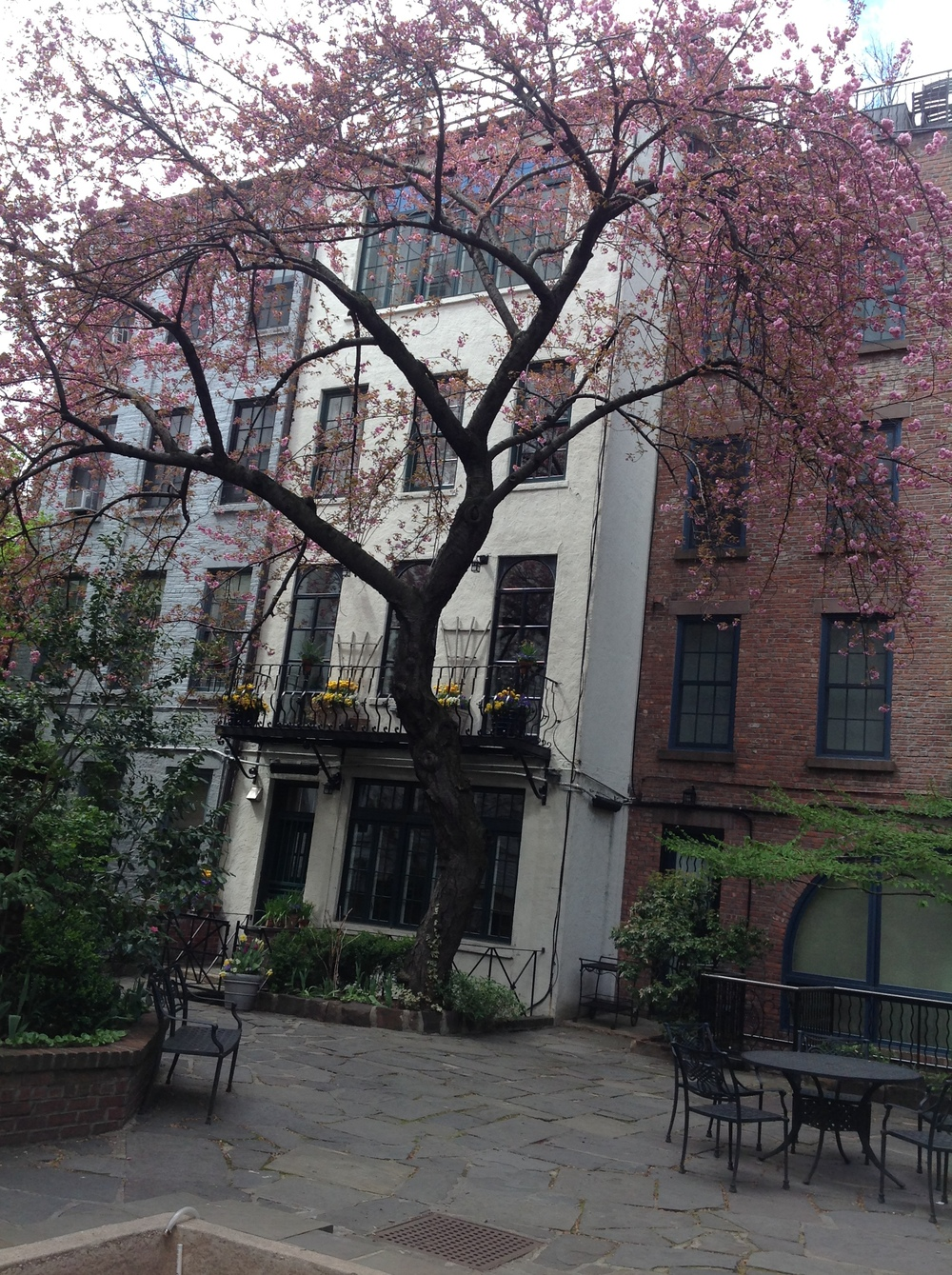 Cherry tree in bloom, West Village, Manhattan, April 27, 2014