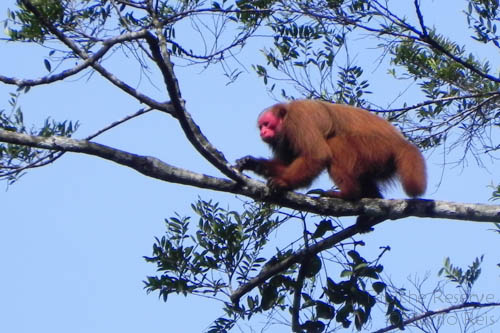 Red uakari at Tapiche Reserve