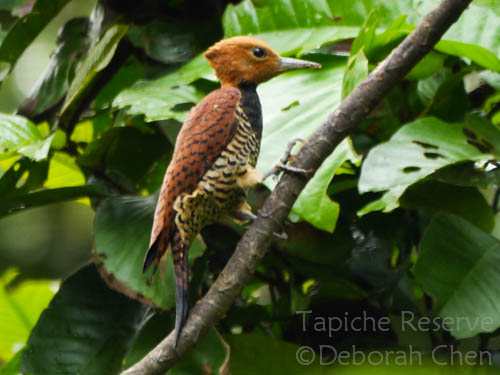 Female ringed woodpecker