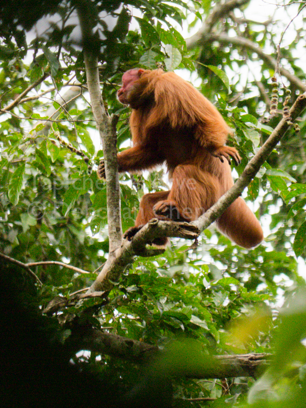 Because of their non-prehensile tails, the uakari are masterful at soaring from tree to tree using only their feet and hands. Tapiche Reserve, Peru.