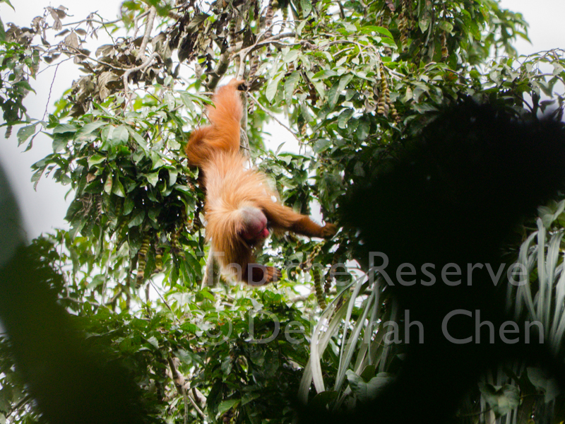 Surrounded by ripe shimbillo fruits, this red uakari is in shimbillo heaven! Tapiche Reserve, Peru.