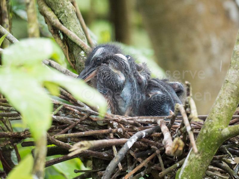 Baby Agami Herons. Tapiche Reserve, Peru