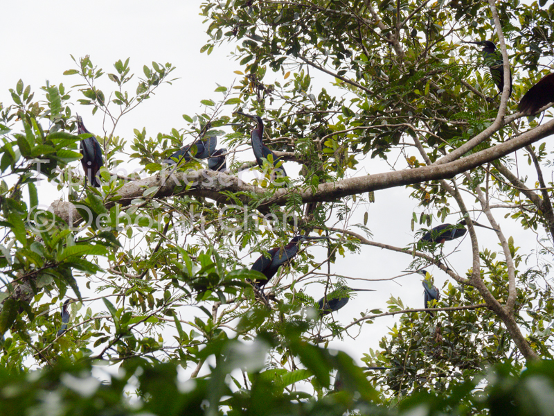 Nesting area dominated by Agami Herons in early February. Tapiche Reserve, Peru