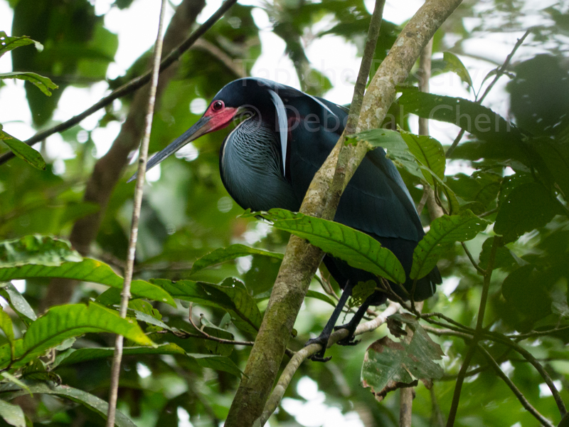 Agami Heron flashes bright red courtship face. Tapiche Reserve, Peru.