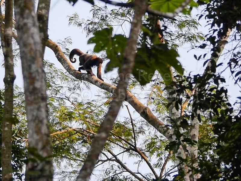 Woolly monkey, Tapiche Reserve, Peru