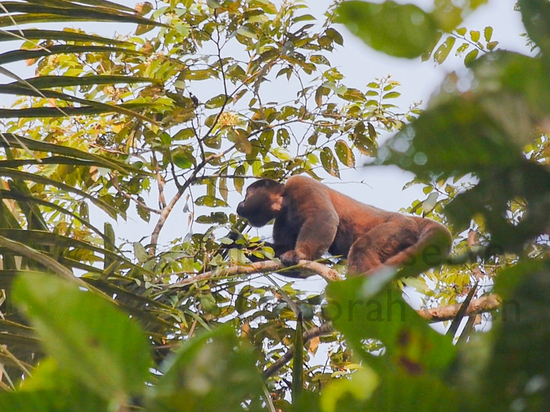 Woolly monkey with cheeks pouches bursting at the seams. Tapiche Reserve, Peru