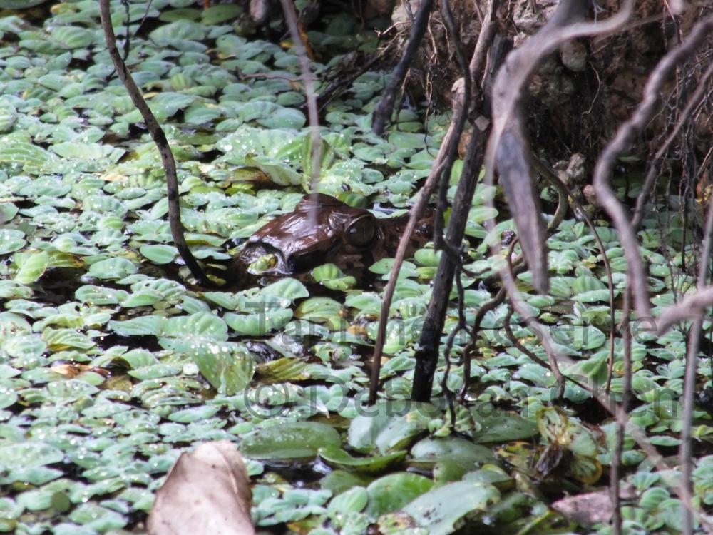 Baby caiman. Tapiche Reserve, Peru