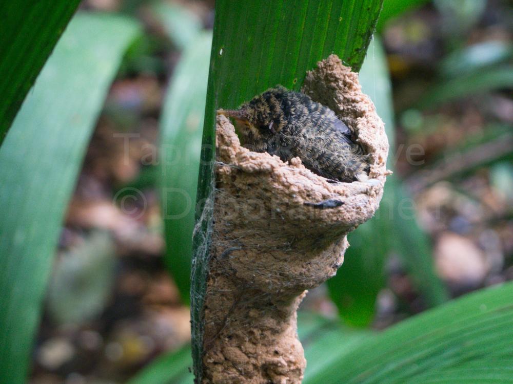 Baby hermit in nest. Tapiche Reserve, Peru