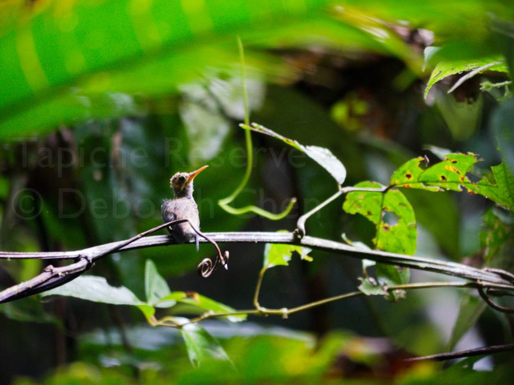 Baby hermit. Tapiche Reserve, Peru