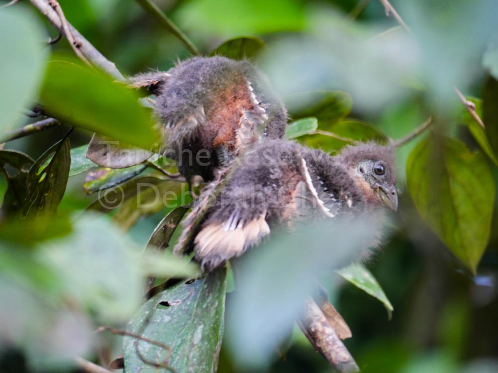 Baby hoatzins. Tapiche Reserve, Peru
