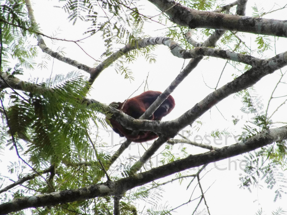 Red howler monkey mother carries a tightly attached backpack. Tapiche Reserve, Peru