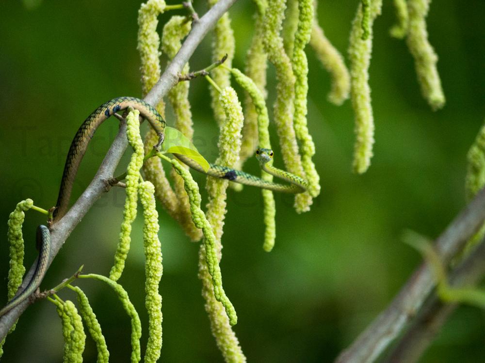 Young vine snake. Tapiche Reserve, Peru