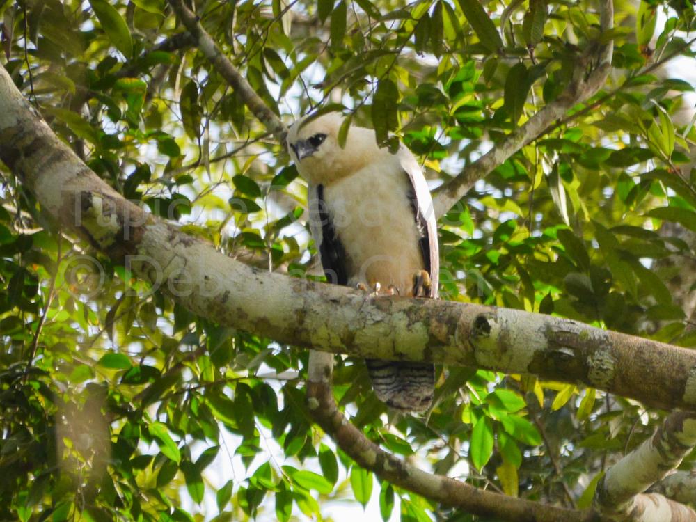 Juvenile Crested Eagle. Tapiche Reserve, Peru