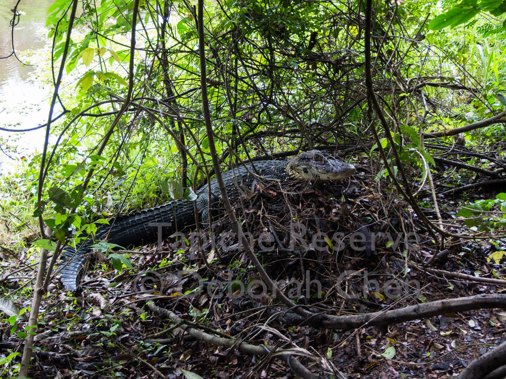 Mama black caiman sits watch on top of her nest. Tapiche Reserve, Peru