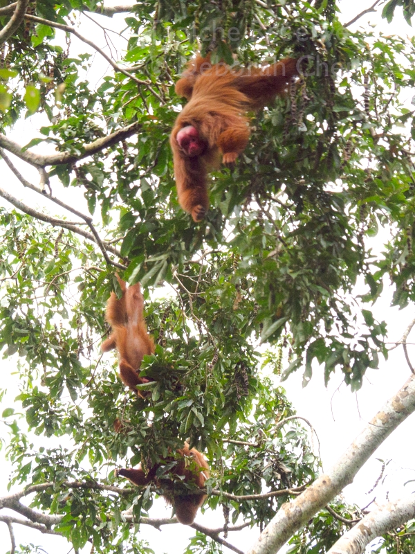Red uakari literally hanging from his toes.  Tapiche Reserve, Peru