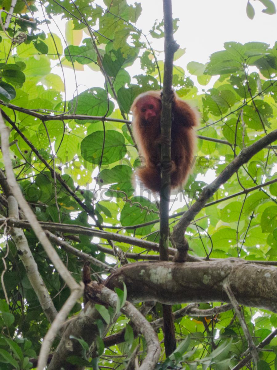 Young red uakari. Tapiche Reserve, Peru
