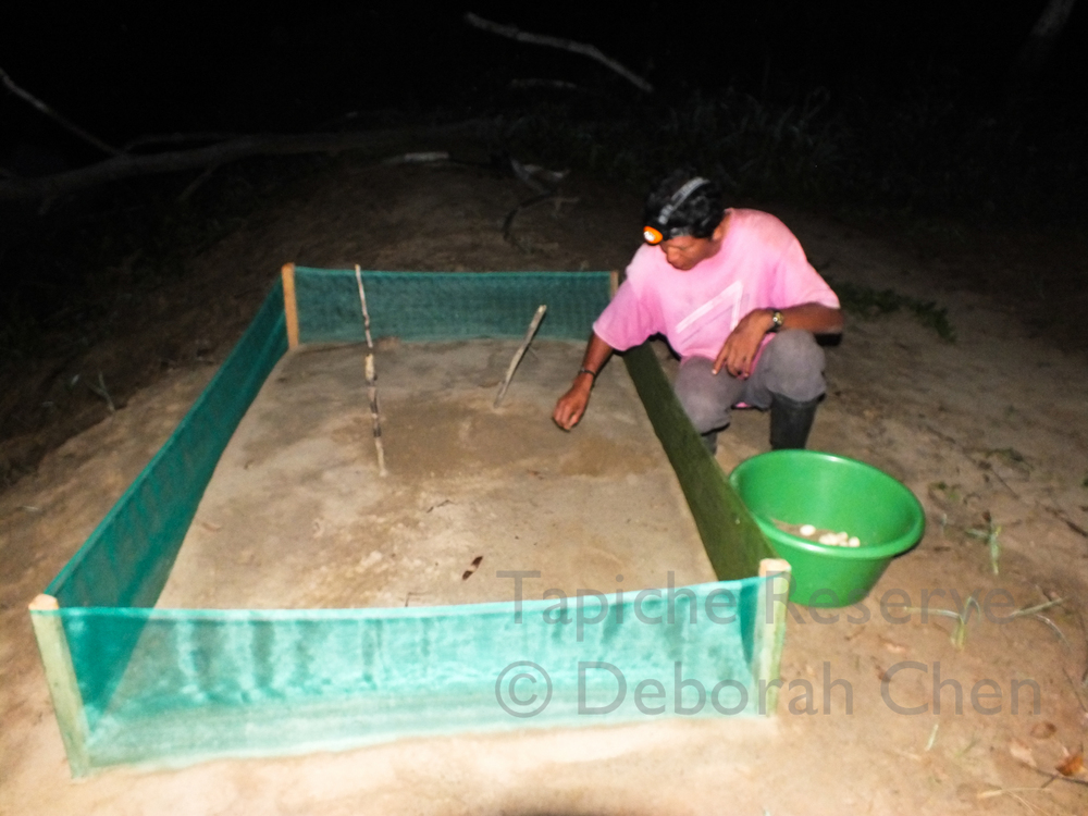 Victor helps to transplant turtle eggs to the beach in front of the lodge to prevent locals from taking them.