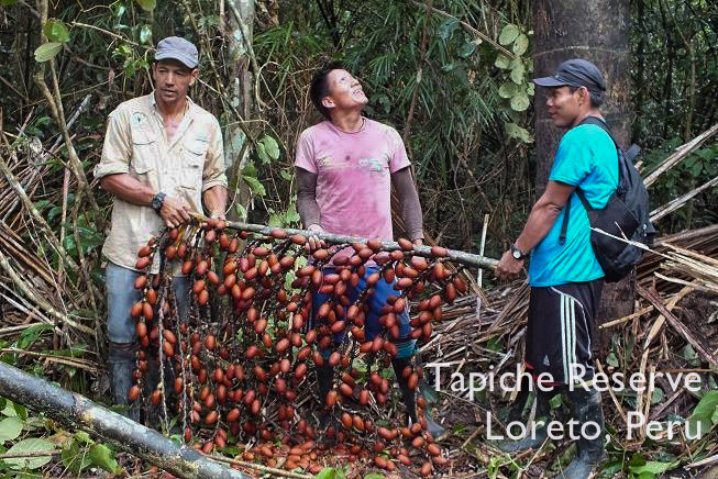 First sustainable aguaje fruit harvest, Tapiche Reserve Jungle, Peru