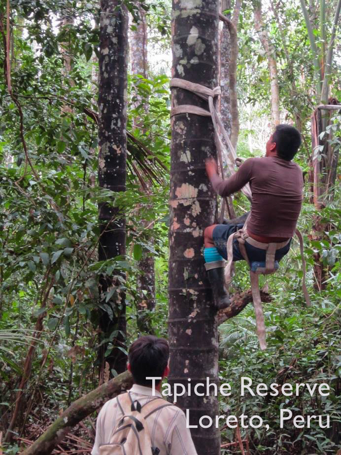 Julio's first climb up an aguaje palm tree, Tapiche Reserve Jungle, Peru