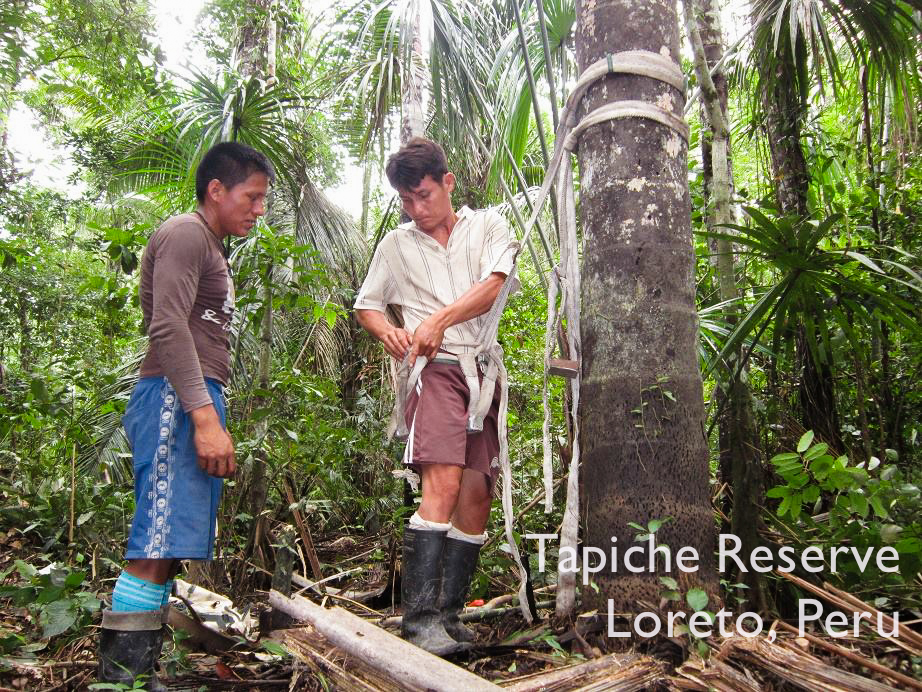 Pedro and Julio try on the climbing gear. Tapiche Reserve Jungle, Peru