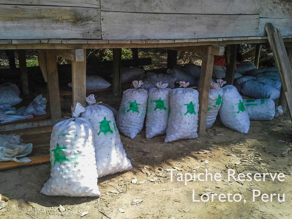 Eco-harvested aguaje fruit waiting to be transported to Iquitos. Tapiche Reserve Jungle, Peru