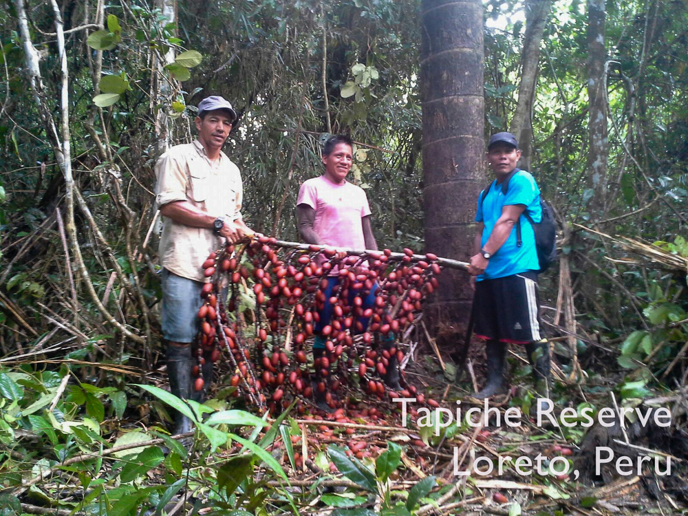First sustainable aguaje fruit harvest, Tapiche Reserve Jungle, Peru