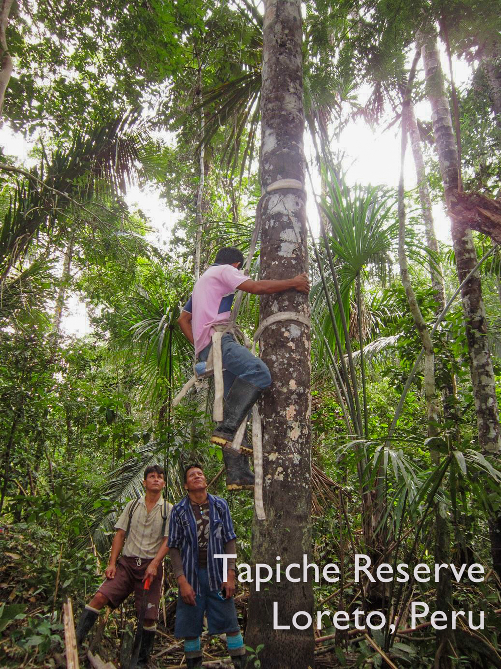 Taking turns climbing an agauje palm tree, Tapiche Reserve Jungle, Peru