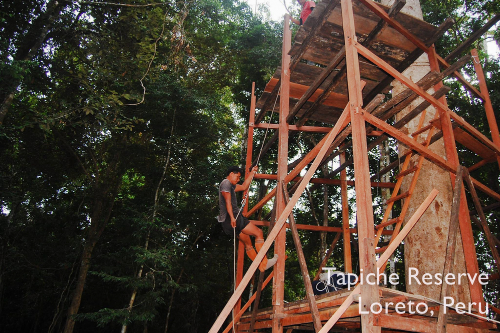 Our Jungle Canopy Observation Tower continues to grow! Tapiche Reserve Jungle, Peru