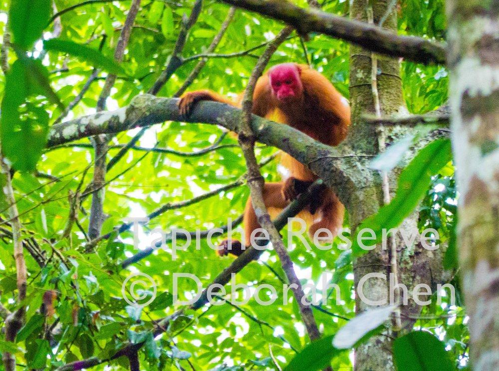 Red Uakari at Tapiche Reserve
