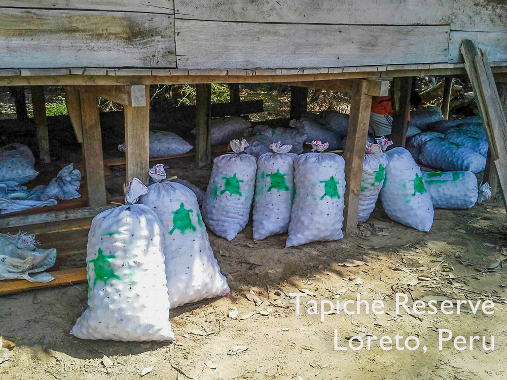 Aguaje fruits packed at the Tapiche lodge and ready for transport to the market in Iquitos