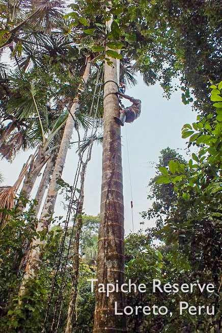 Tapiche-Amazon-Jungle-Tour-Peru-climbing-aguaje-buriti-palm-tree
