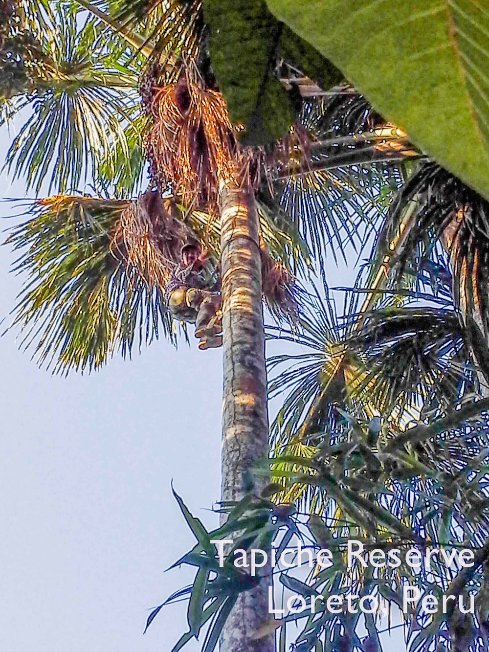 Tapiche-Amazon-Jungle-Tour-Peru-visitor-climbs-aguaje-buriti-palm-tree
