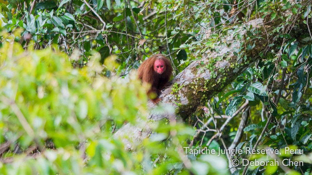 Tapiche-Amazon-Jungle-Tour-Peru-red-bald-uakari-tower.jpg